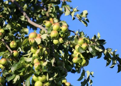 Mike Hill Moonshine Agency photography Apples growing on a tree