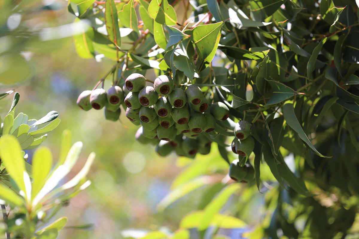Gum-Nuts on a tree-_Moonshine-Agency_Stock-Image-Library