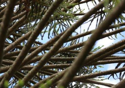 Monkey-Puzzle Tree-Moonshine-Agency_Stock-Image-Library