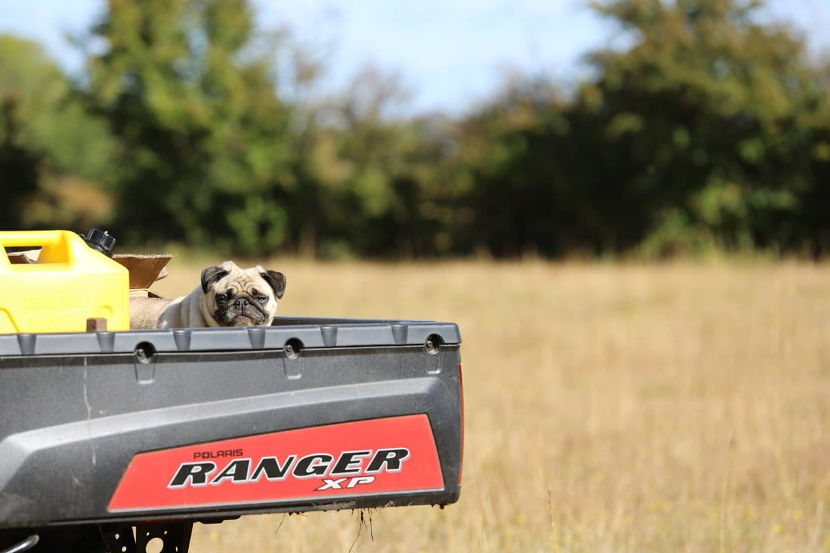 Pug on a trailer in a field